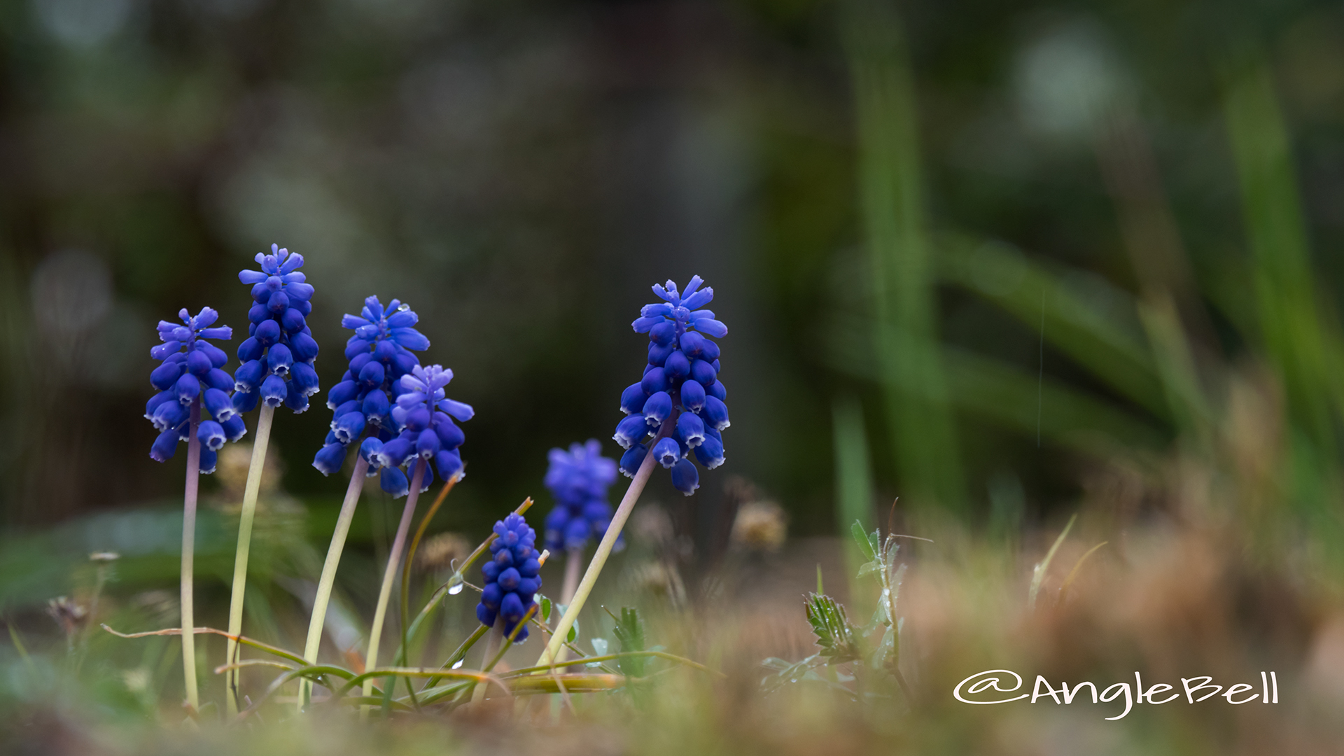 ムスカリ Flower Photo3