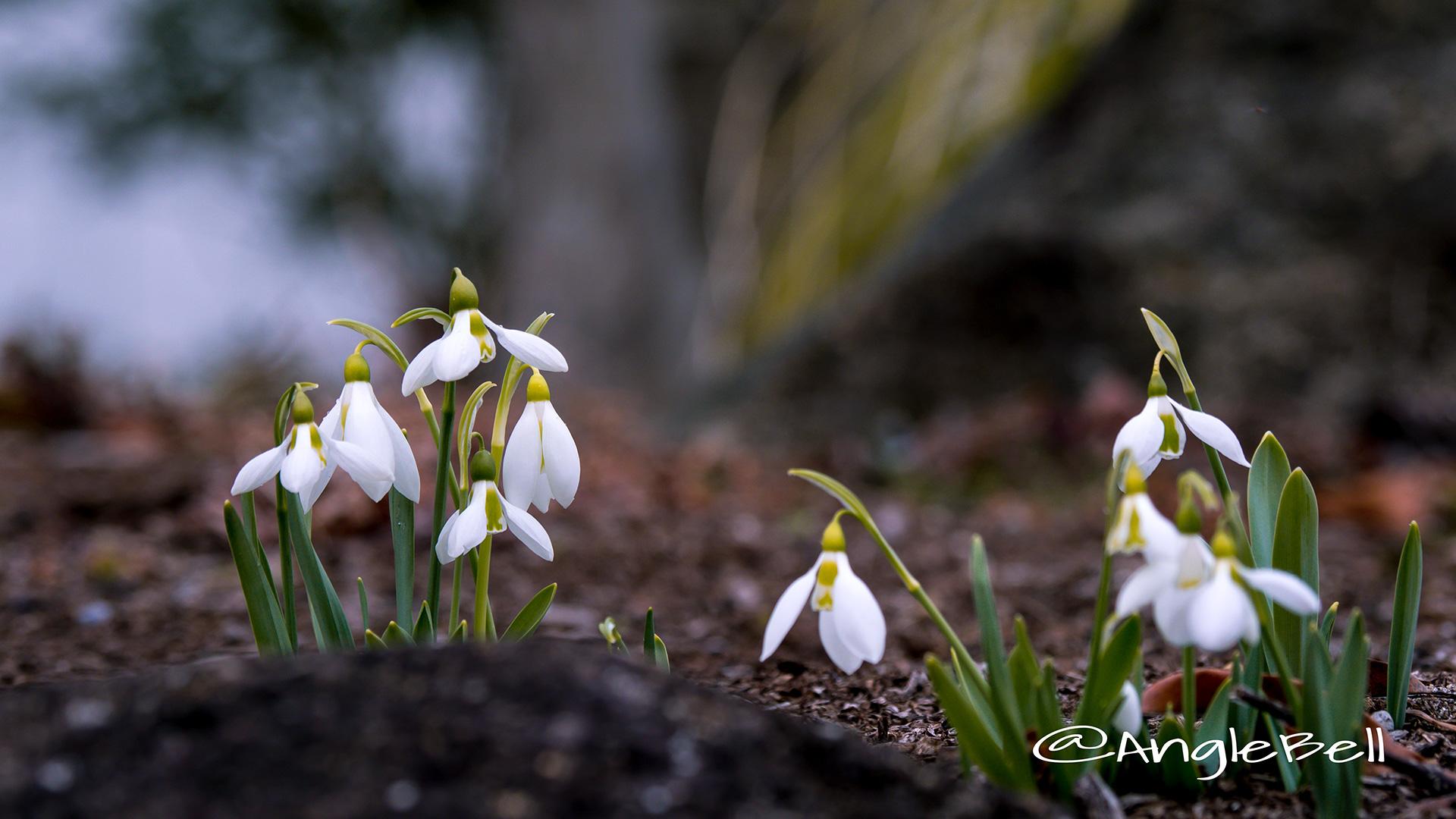 スノードロップ Flower Photo1