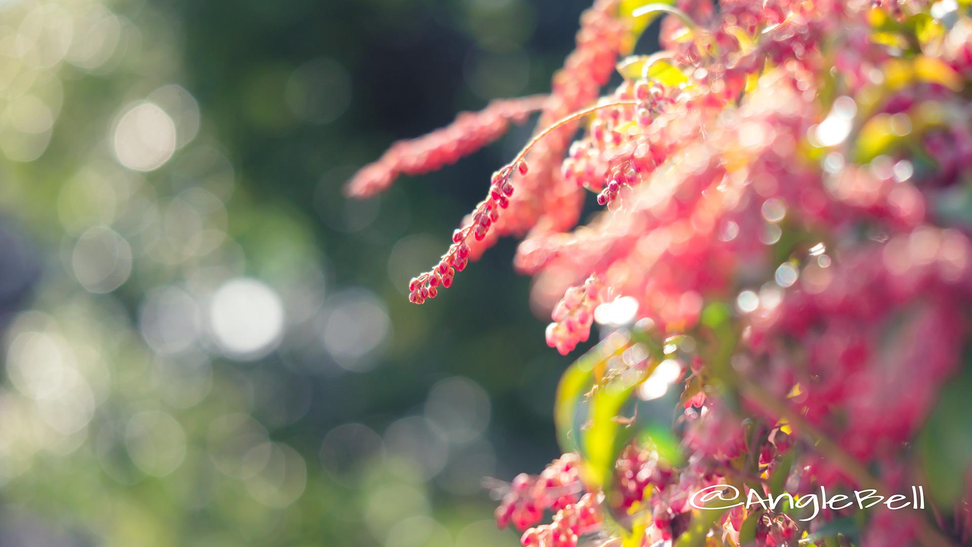アセビ 馬酔木 Flower Photo2