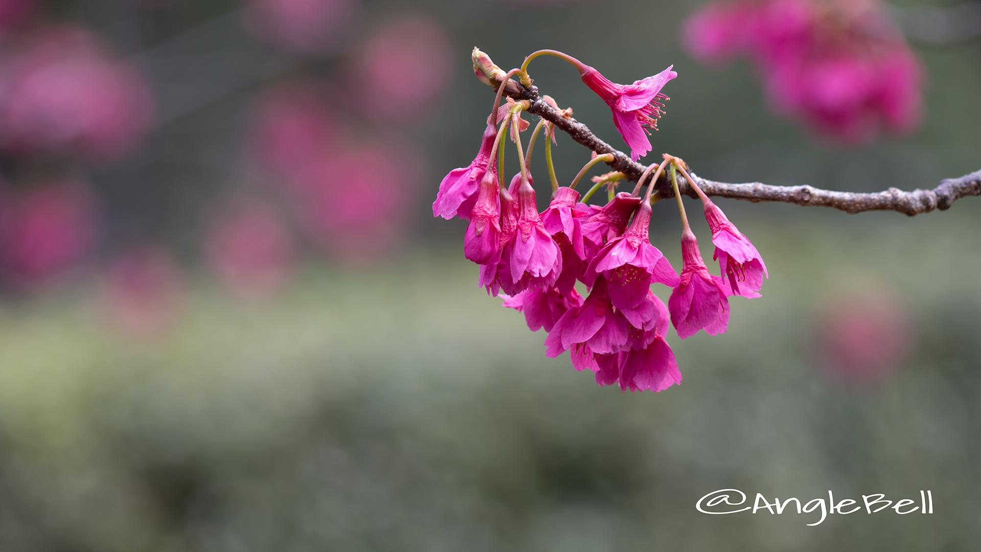 カンヒザクラ 寒緋桜 Flower Photo4