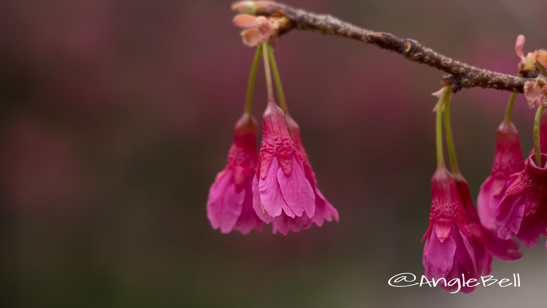 カンヒザクラ 寒緋桜 Flower Photo1
