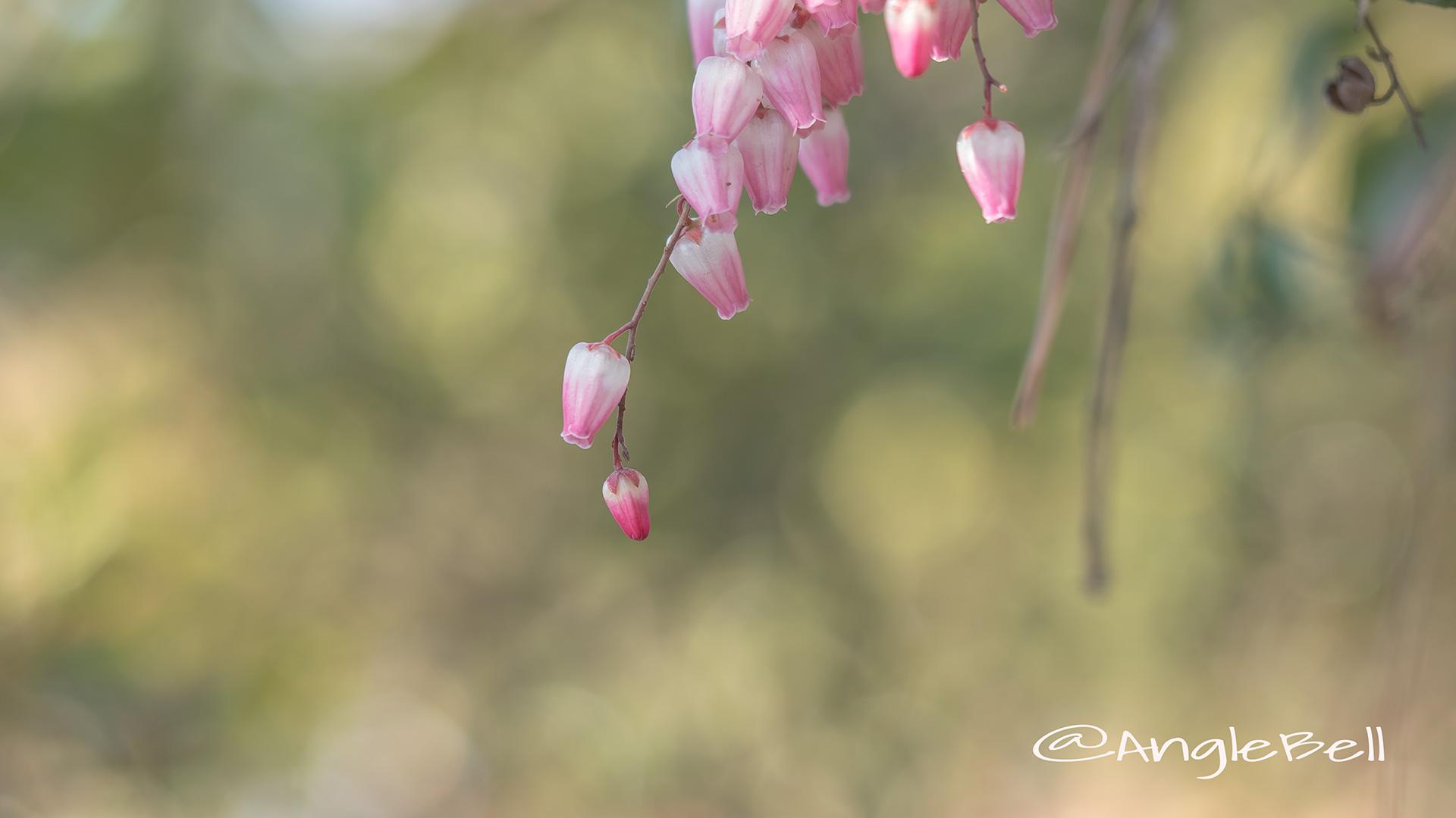アセビ 馬酔木 Flower Photo3