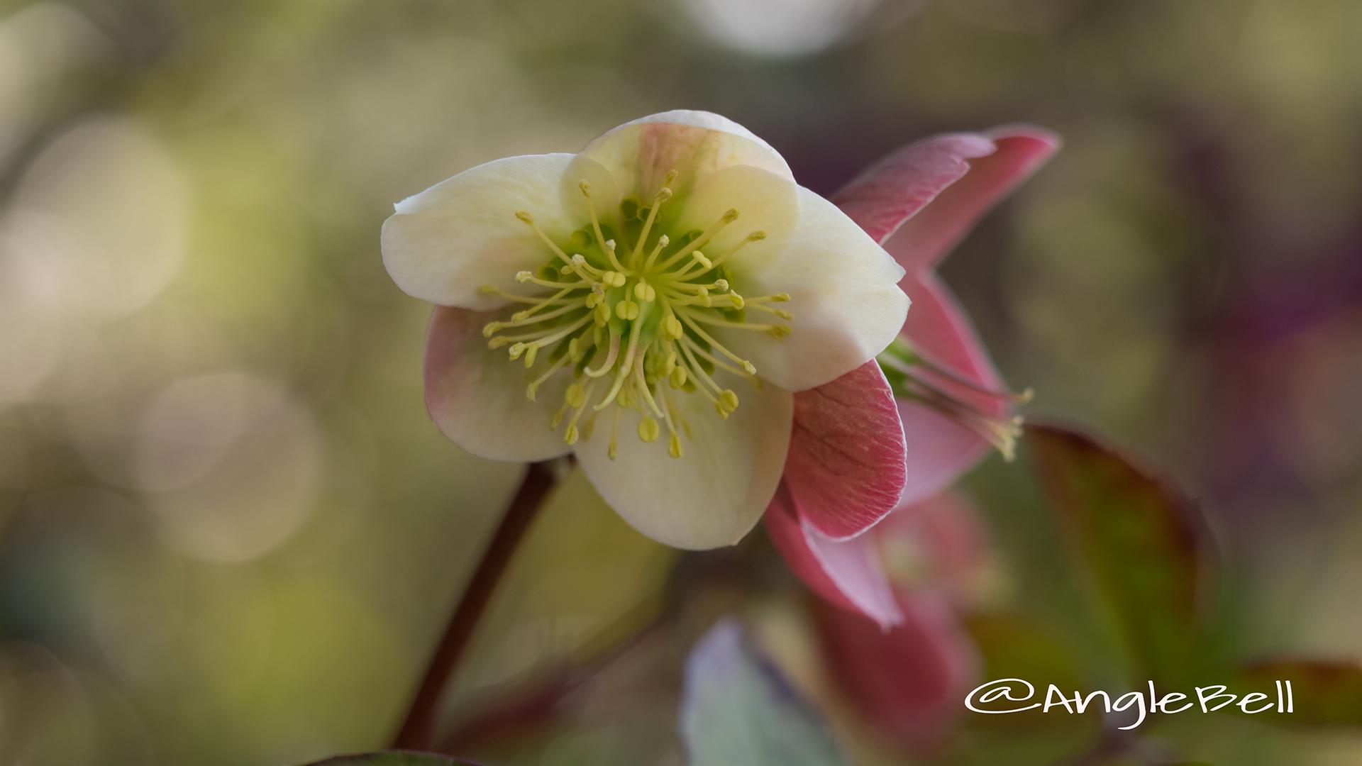 クリスマスローズ Flower Photo2