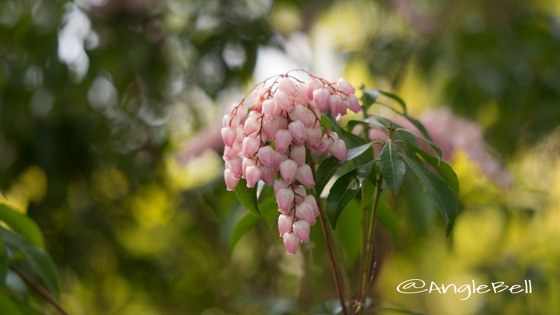 アセビ 馬酔木 Flower Photo4