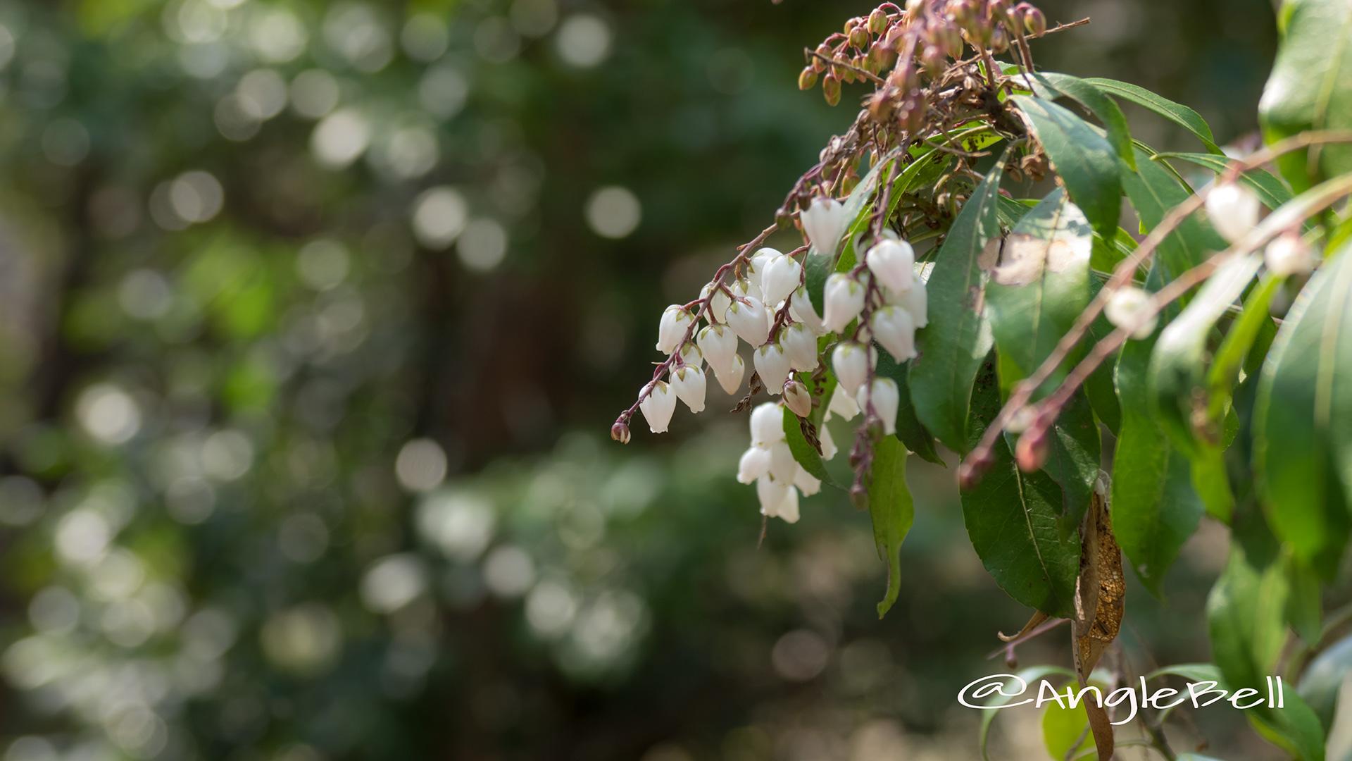 アセビ 馬酔木 Flower Photo5