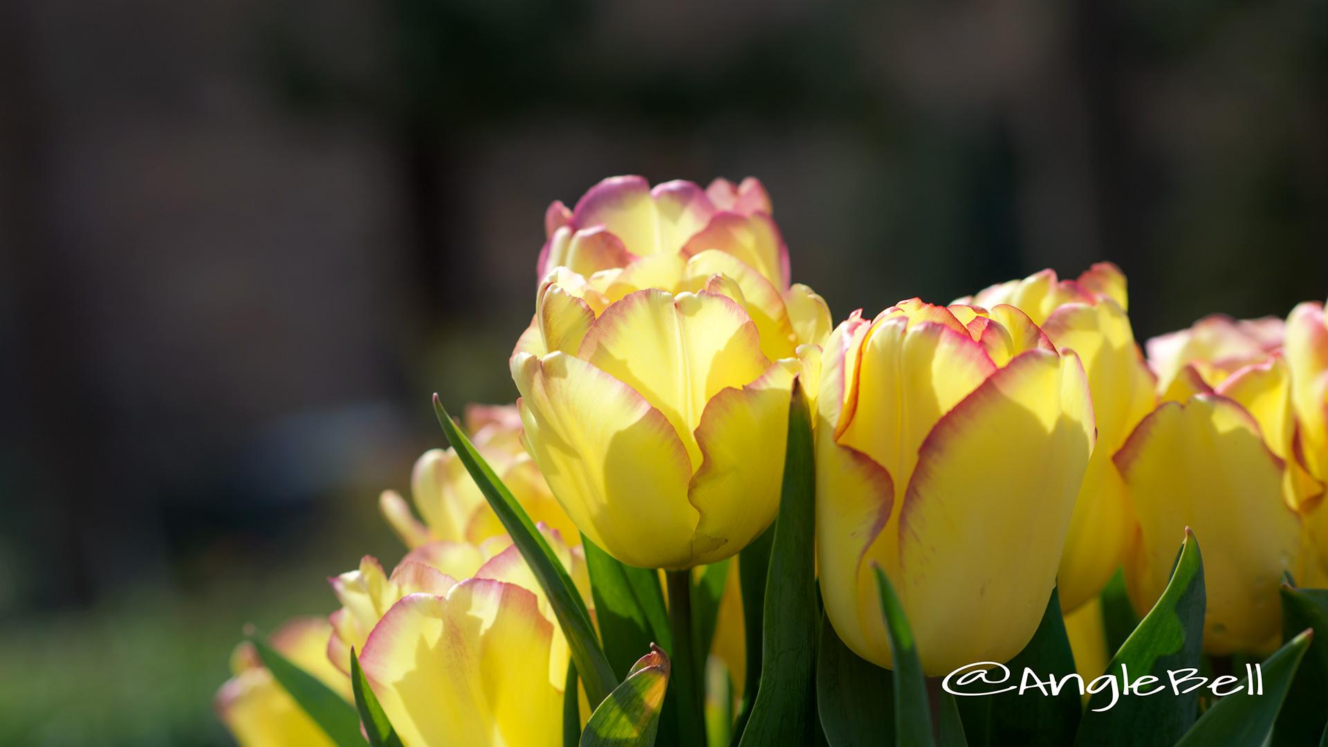 チューリップ Flower Photo3