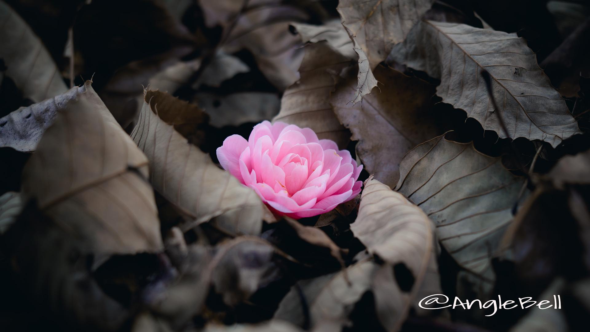 ツバキ 椿 Flower Photo5
