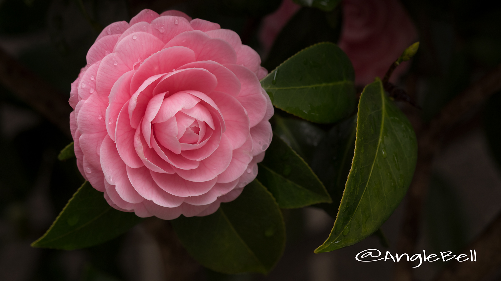 ツバキ 椿 Flower Photo2