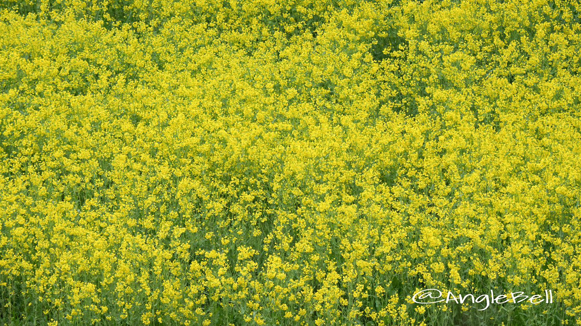 ナノハナ 菜の花 Flower Photo3