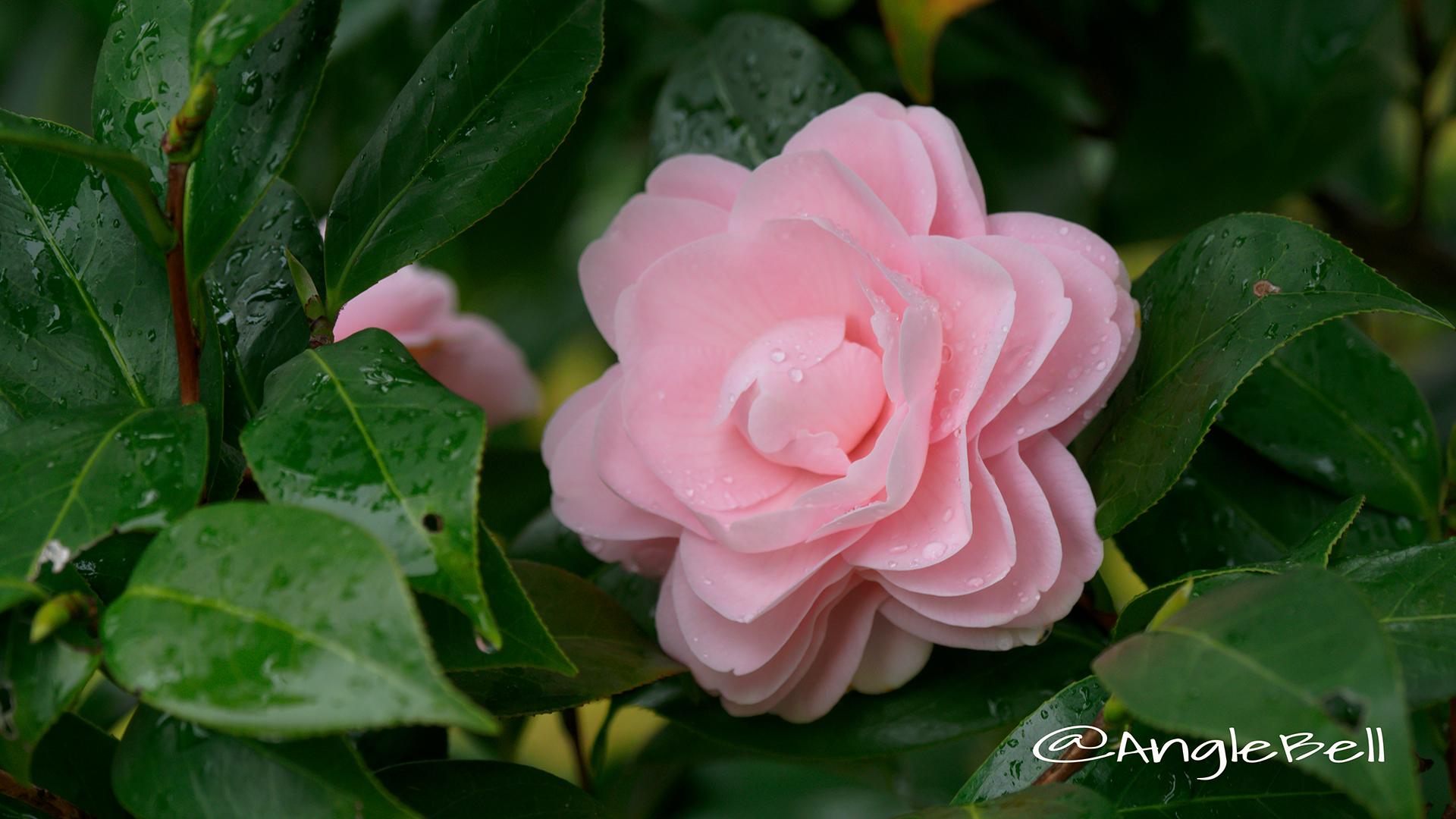 ツバキ 椿 Flower Photo7