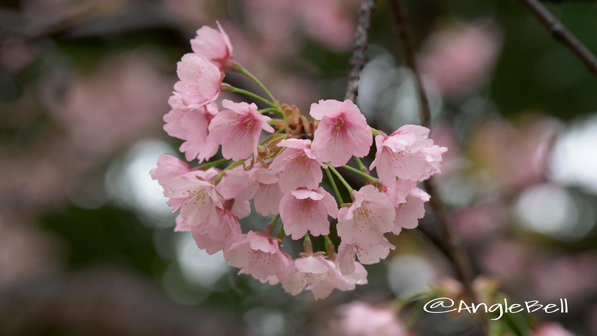 サクラ 桜 Flower Photo2