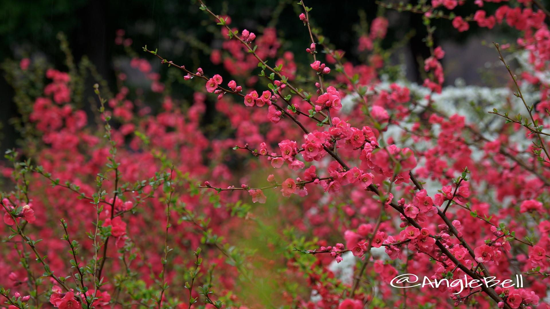 ボケ 木瓜 Flower Photo4