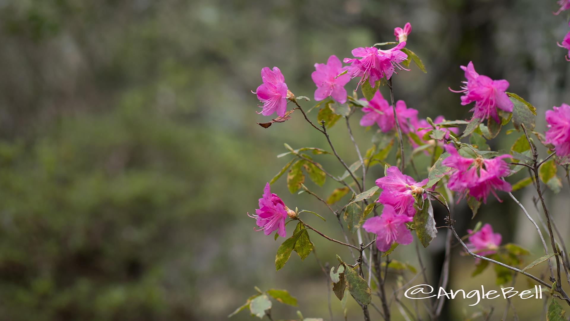ヒラドツツジ 平戸躑躅 Flower Photo3