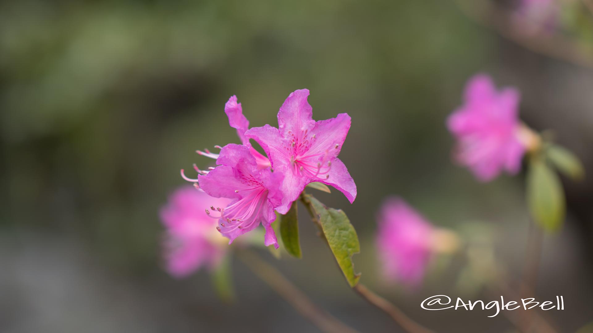 ヒラドツツジ 平戸躑躅 Flower Photo4