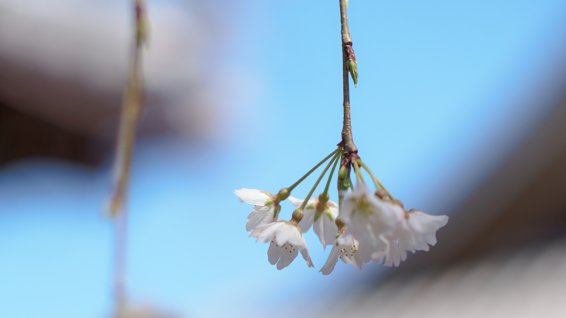 サクラ 桜 Flower Photo3