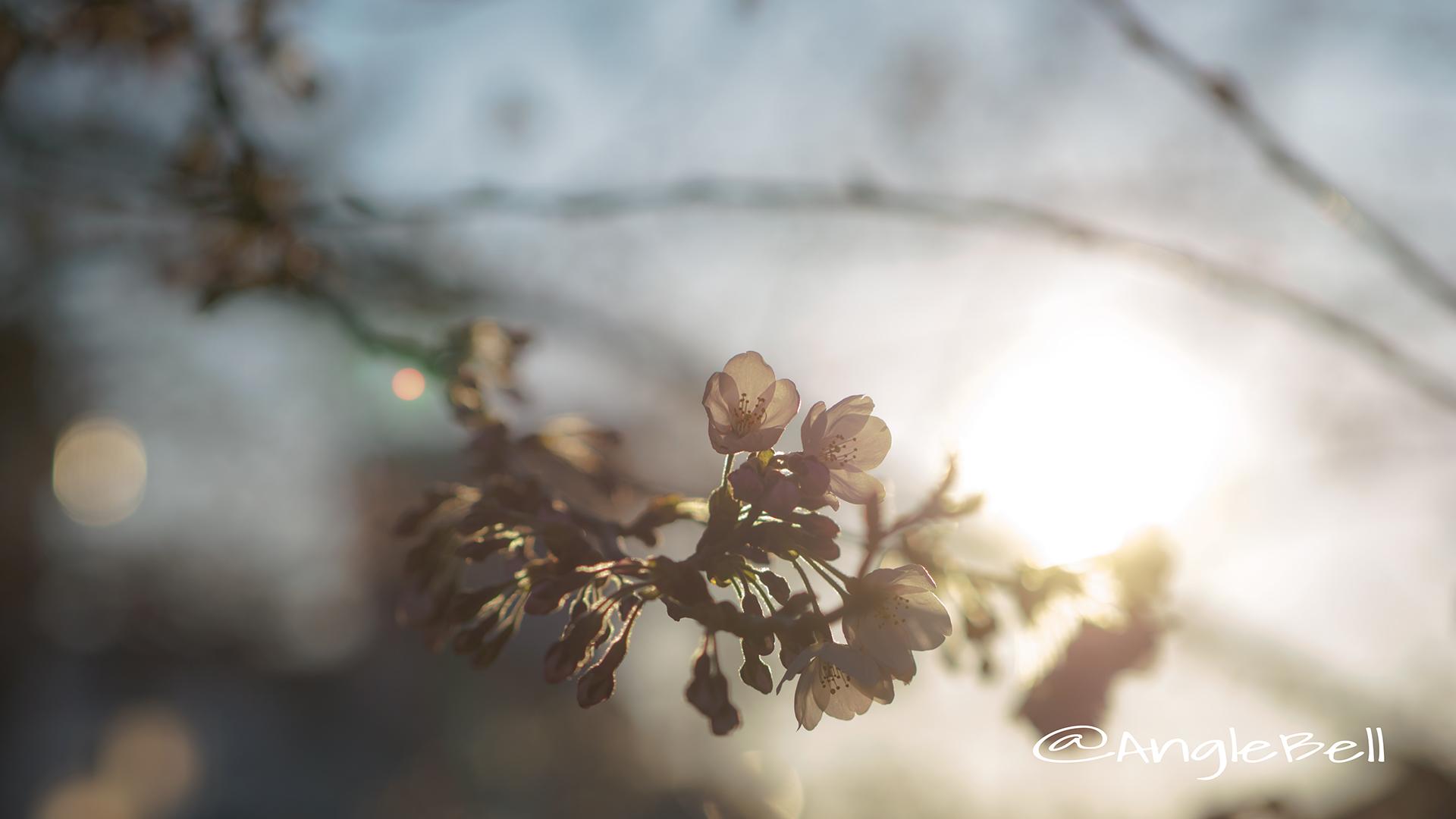 サクラ 桜 Flower Photo6