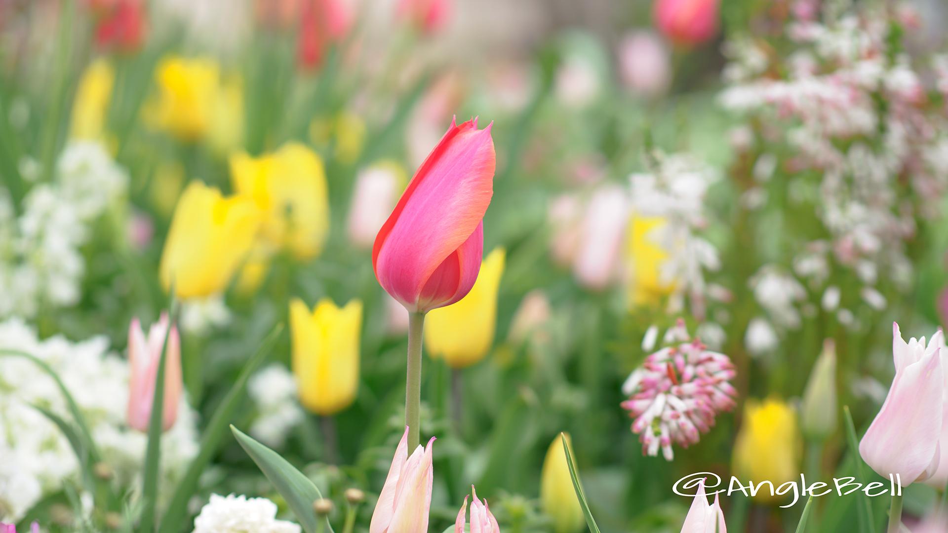 チューリップ Flower Photo7
