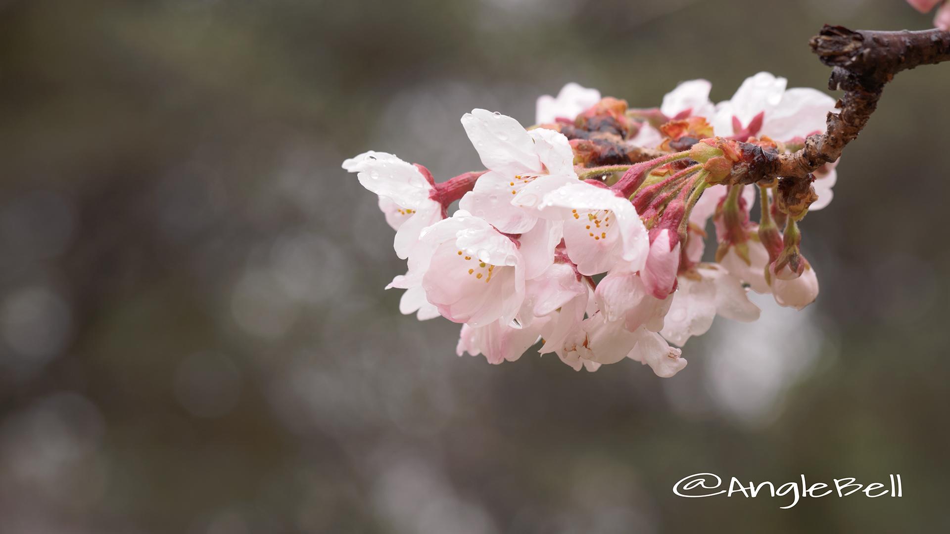 サクラ 桜 Flower Photo4