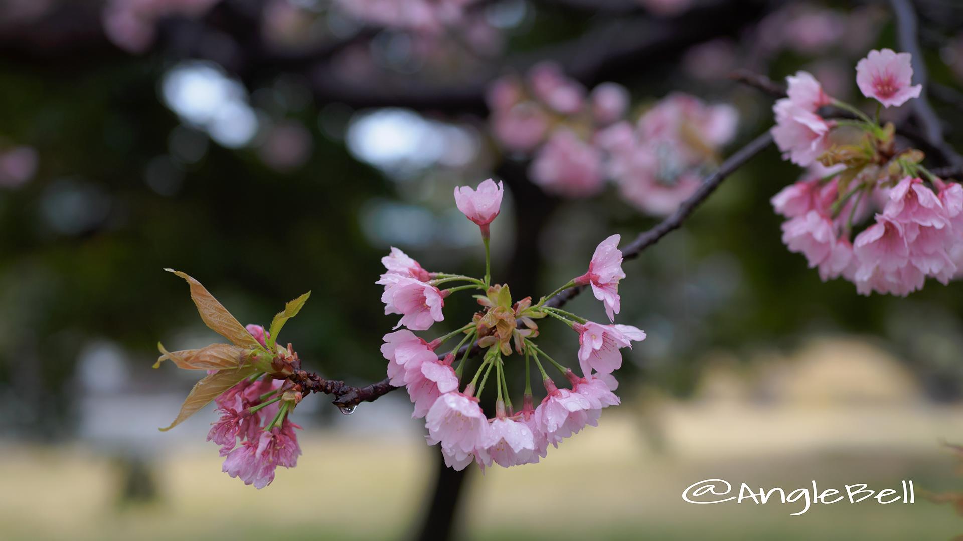 サクラ 桜 Flower Photo5