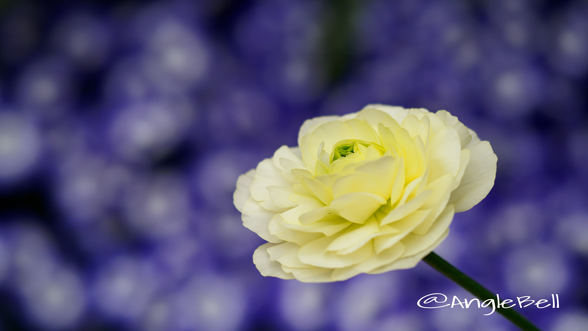 ラナンキュラスマシェ Flower Photo5