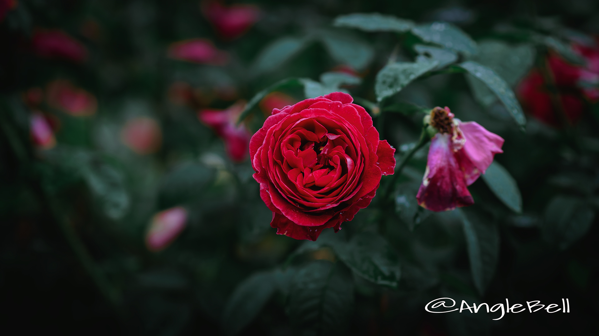 ブレスウェイトゥ (バラ) Flower Photo3