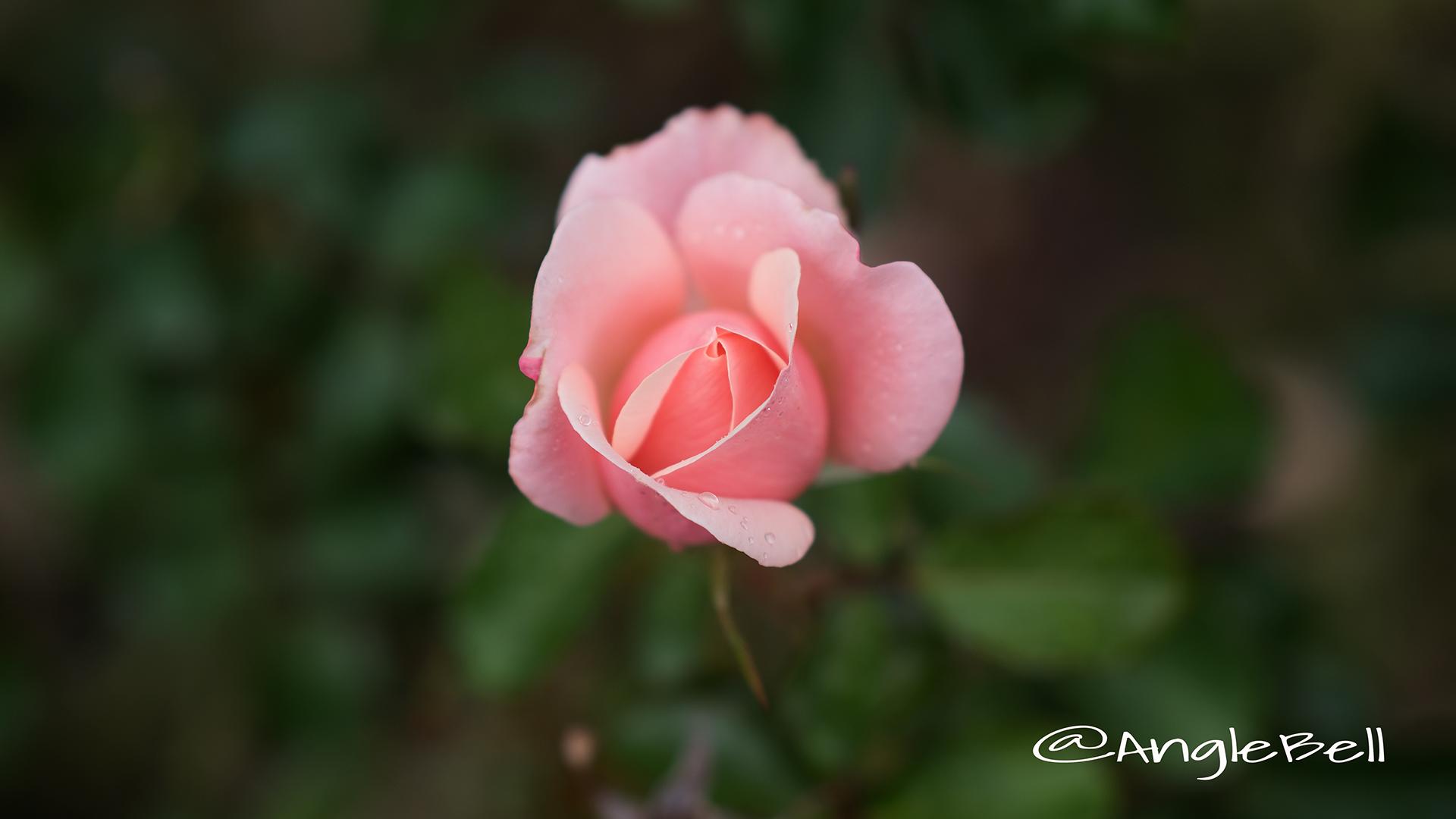 バレンタイン ハート (バラ) Flower Photo2