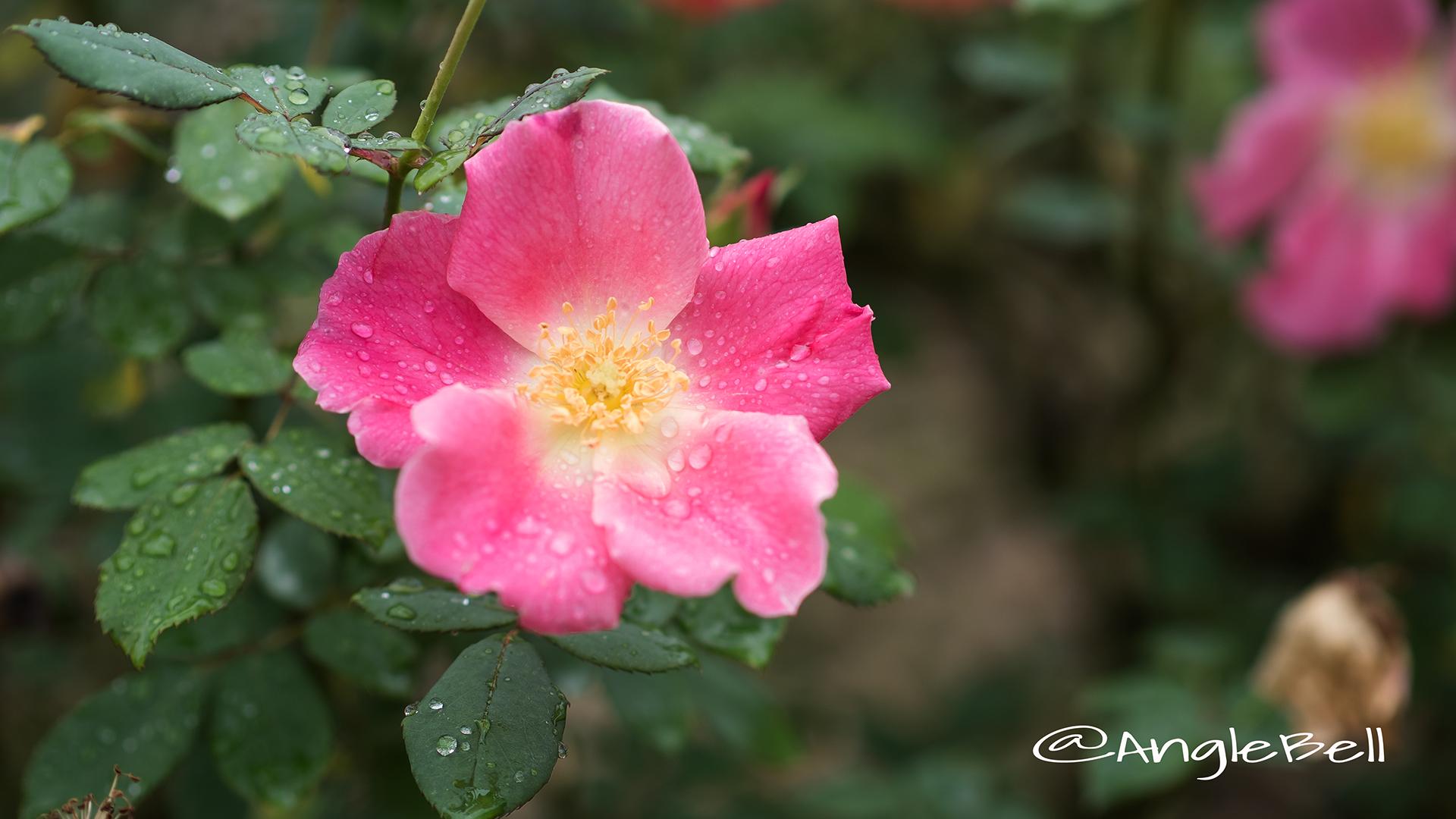 ダップル ドーン (バラ) Flower Photo2