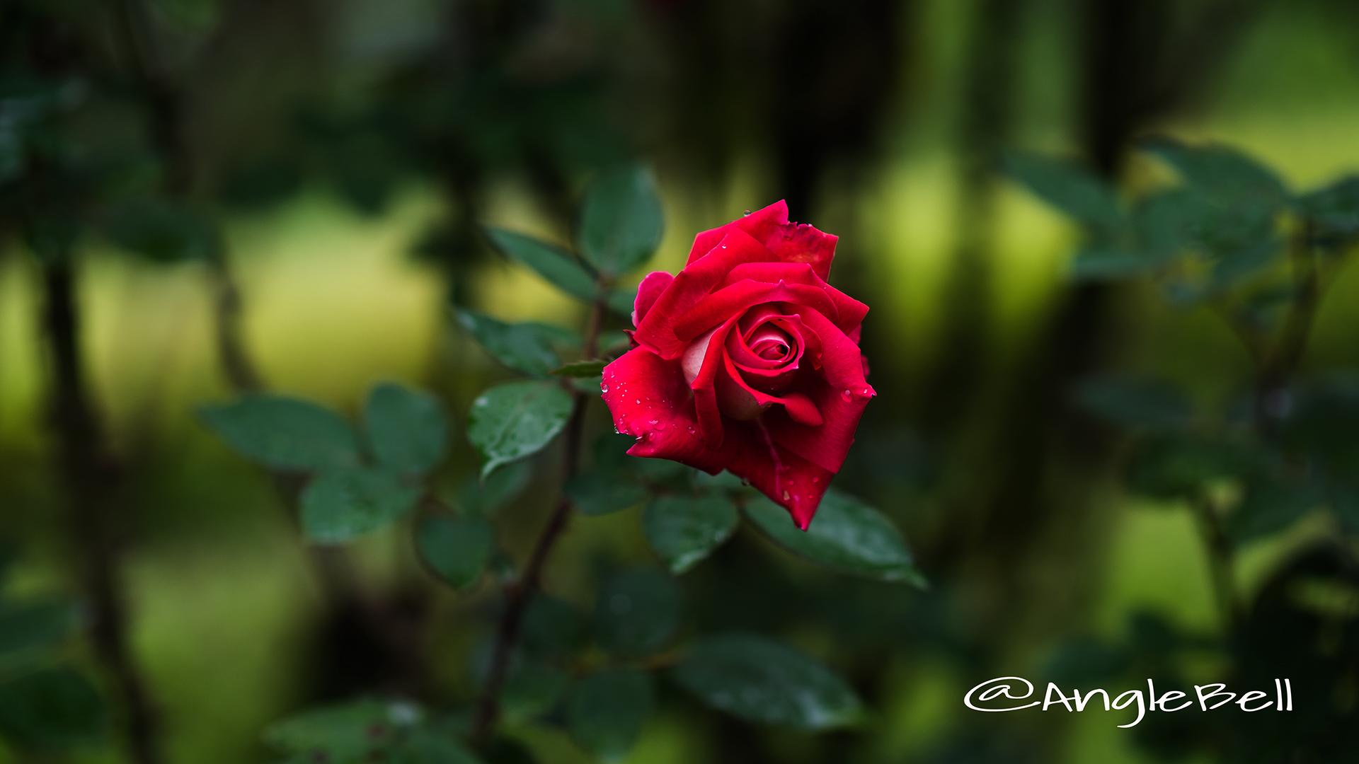 ラヴ (バラ) Flower Photo2