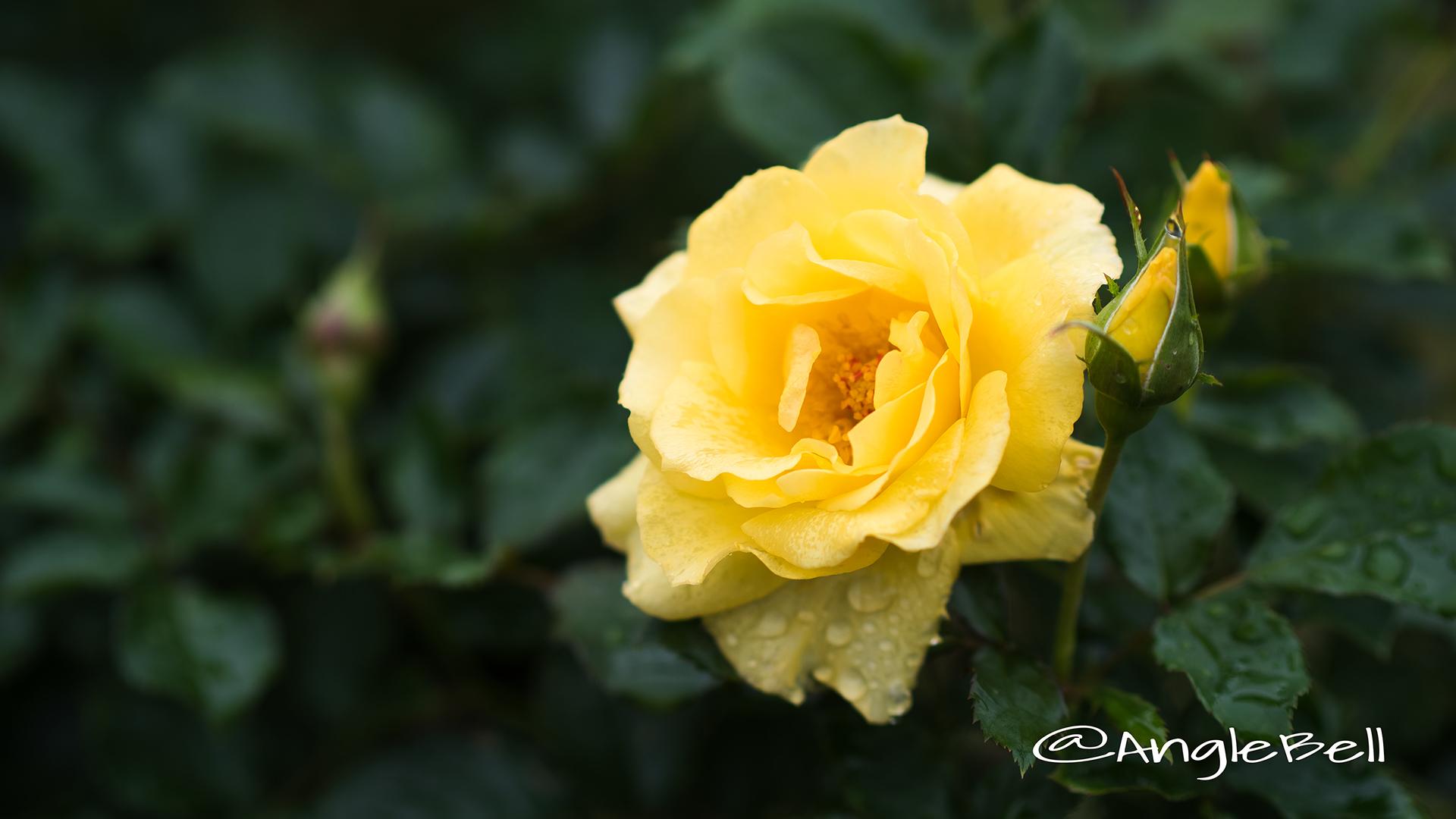 サン フレアー (バラ) Flower Photo2