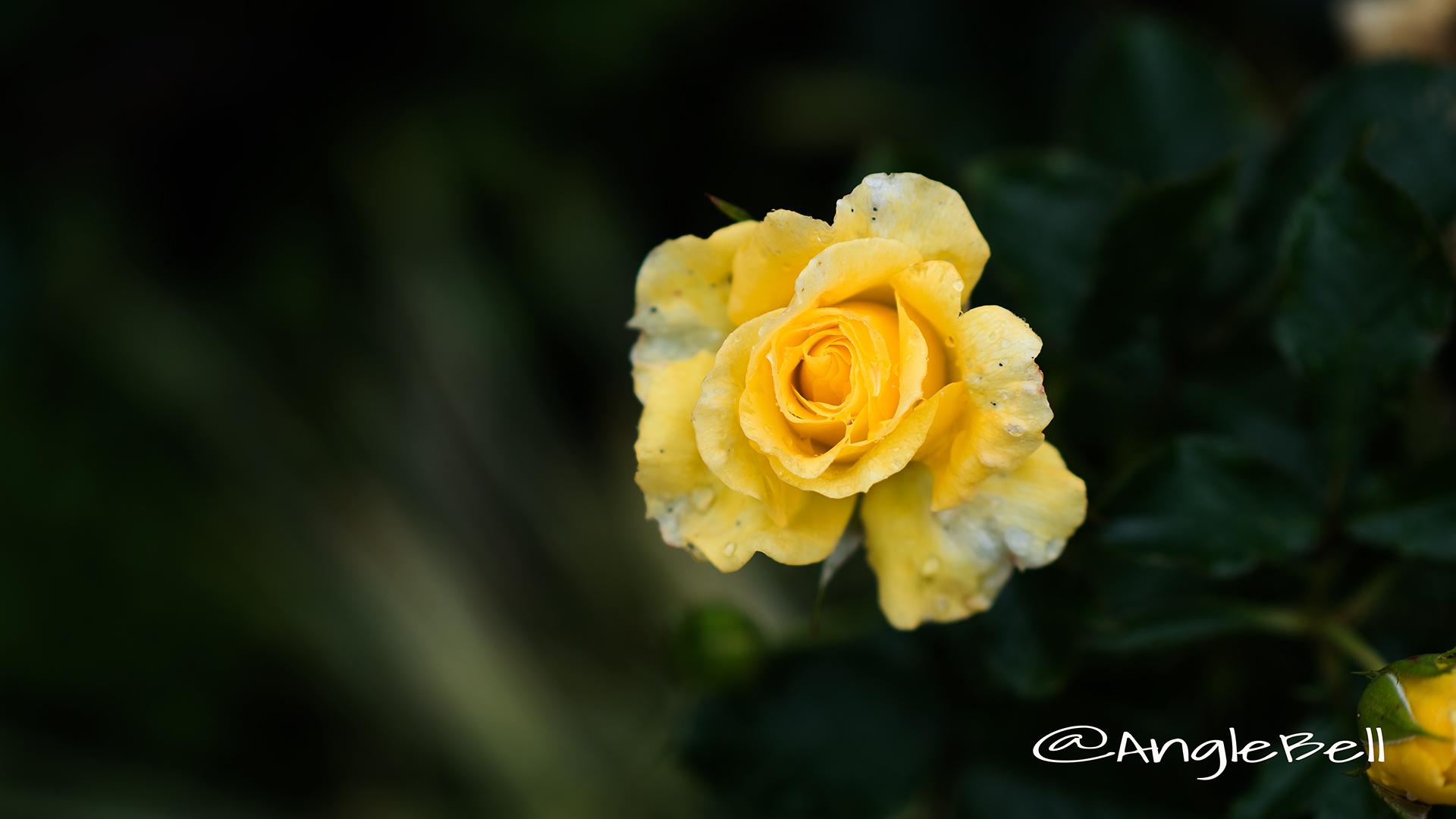 サン フレアー (バラ) Flower Photo4