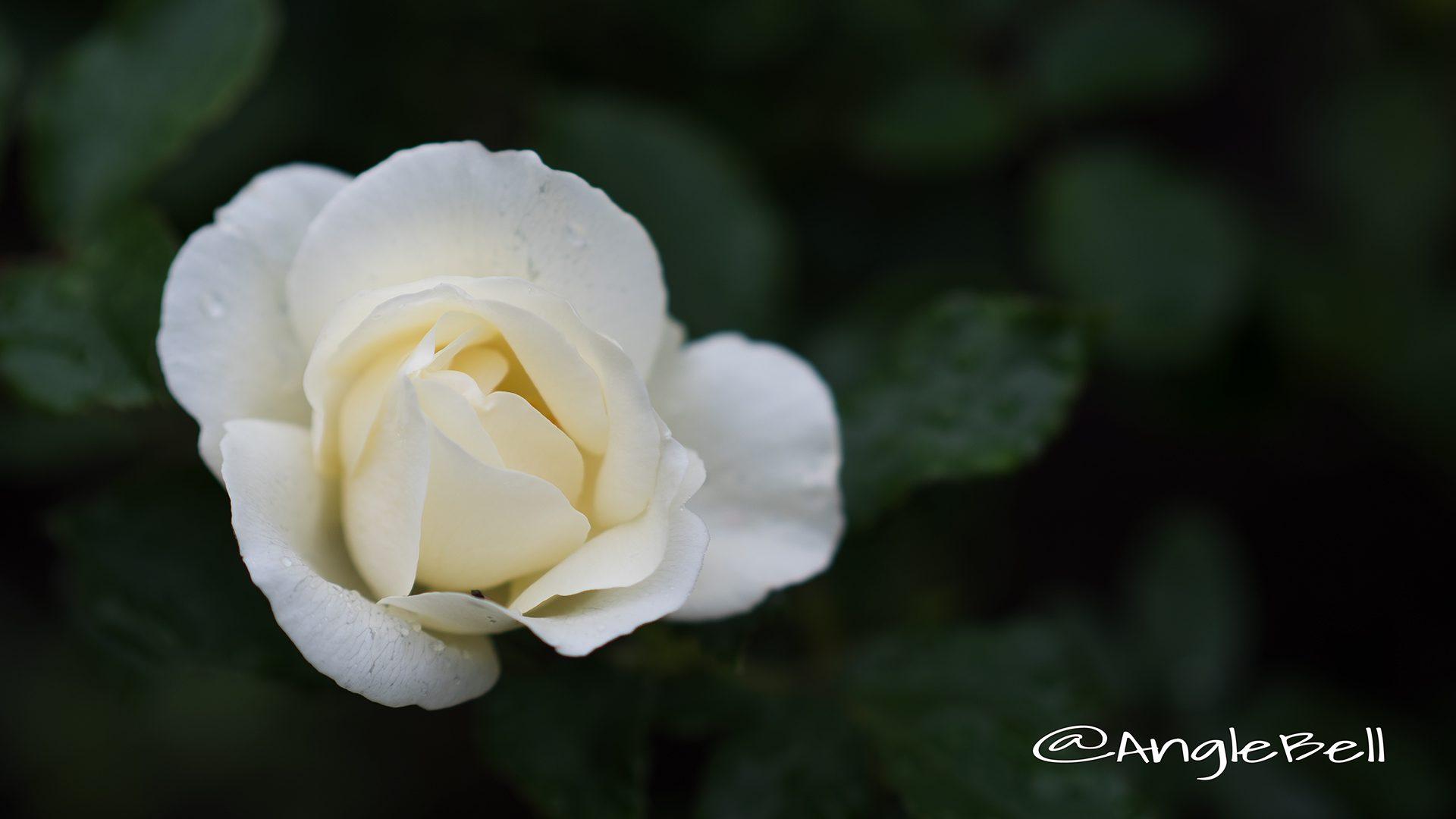ホワイト マジック (バラ)