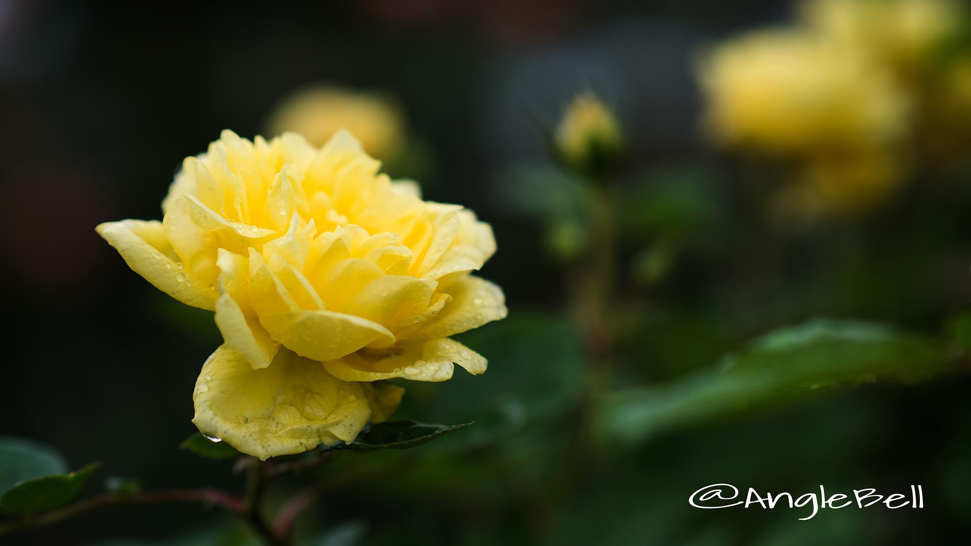 ベル ロマンティカ (バラ) Flower Photo2