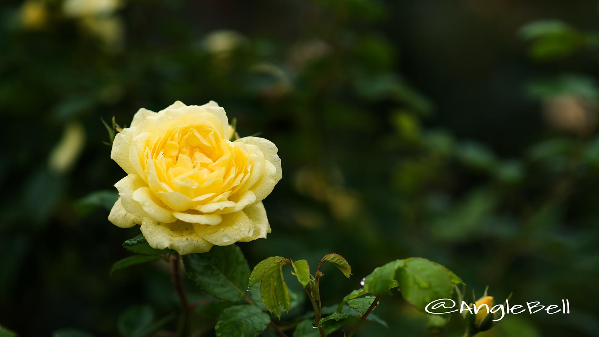 ベル ロマンティカ (バラ) Flower Photo3