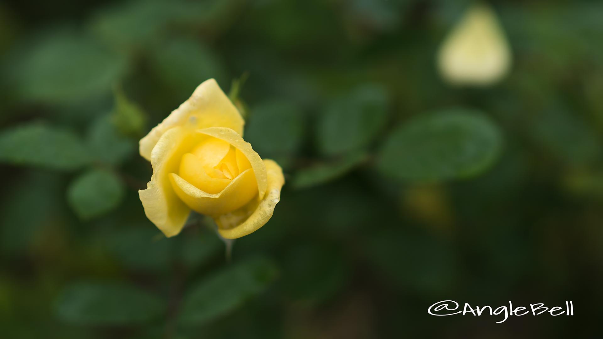 ベル ロマンティカ (バラ) Flower Photo4