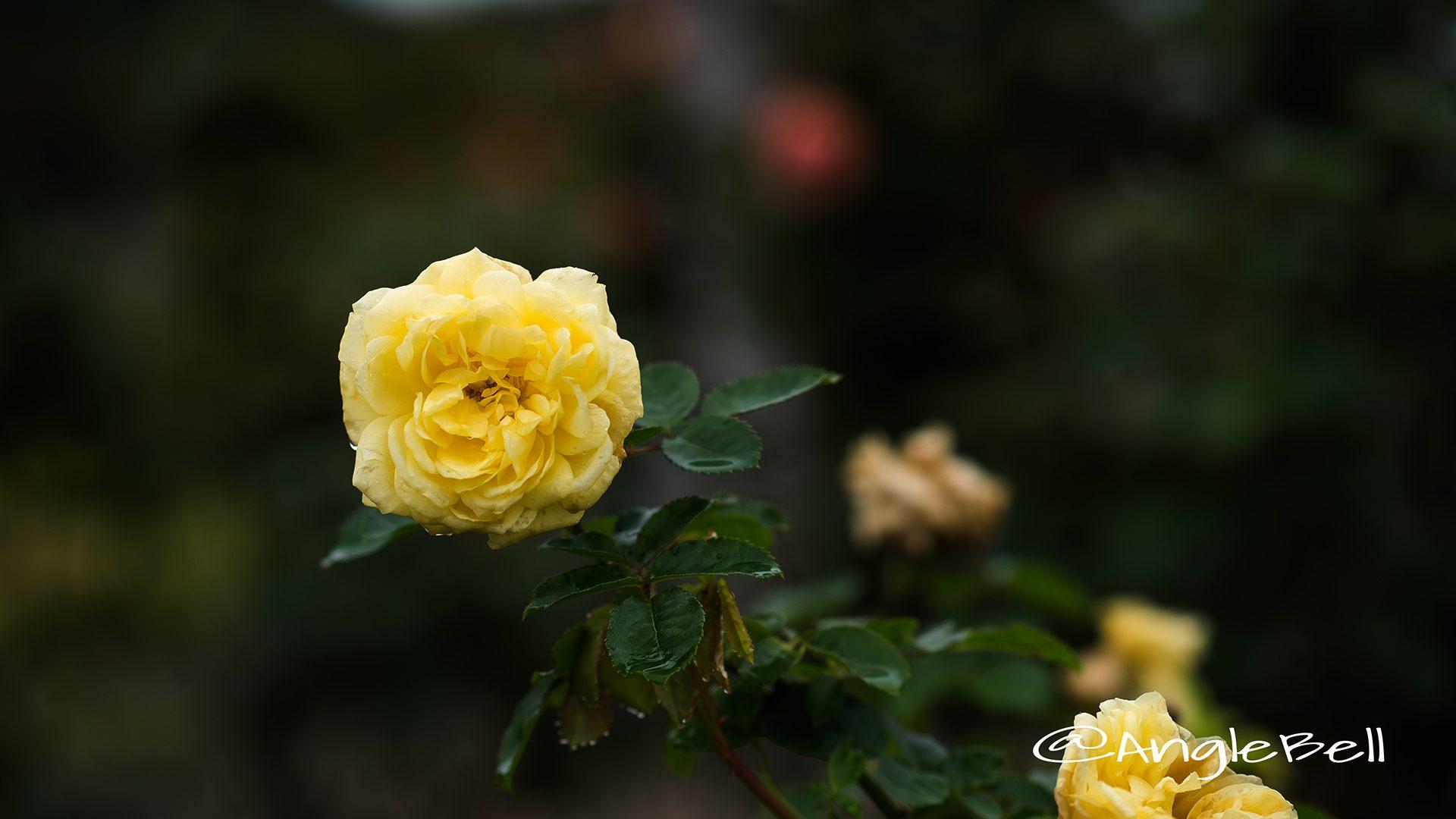 ベル ロマンティカ (バラ)