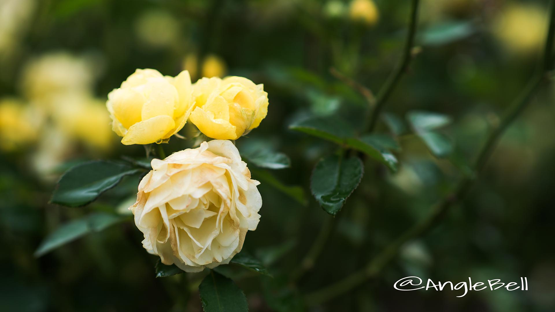 ゴールデン ボーダー (バラ) Flower Photo2
