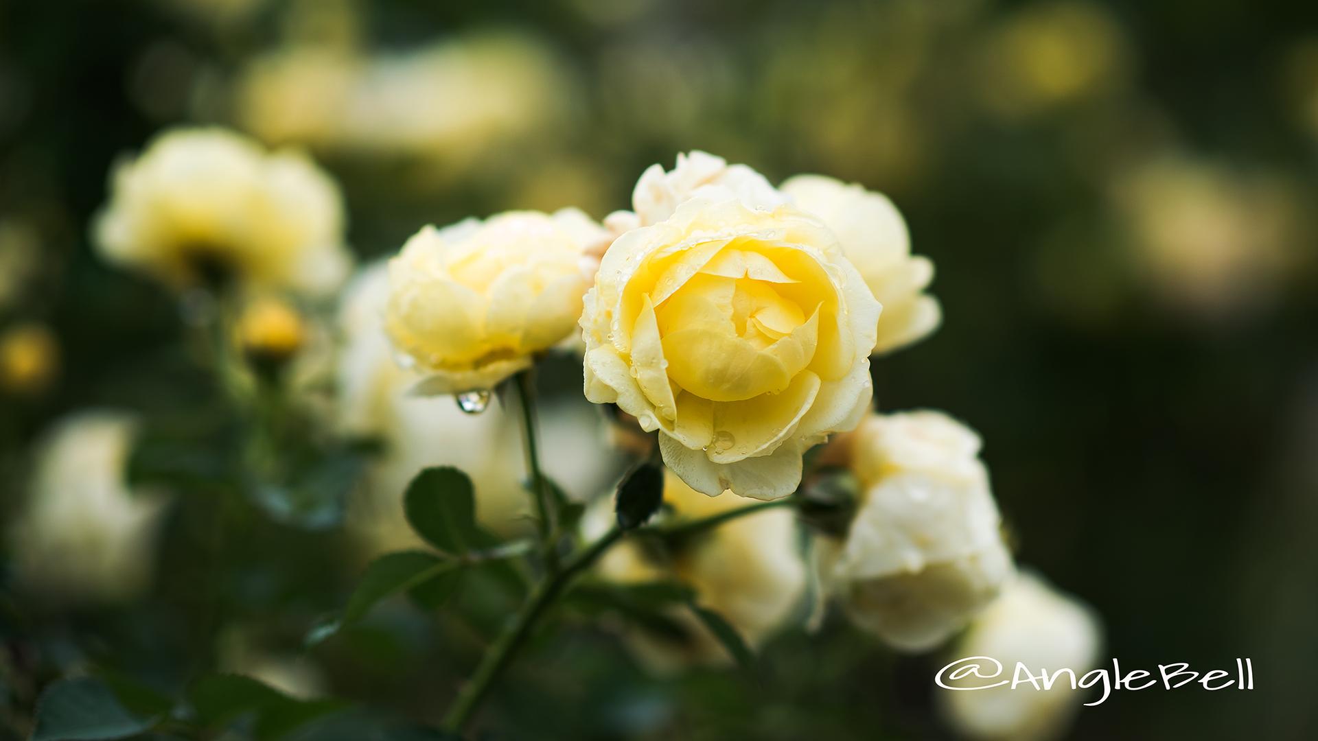 ゴールデン ボーダー (バラ) Flower Photo3