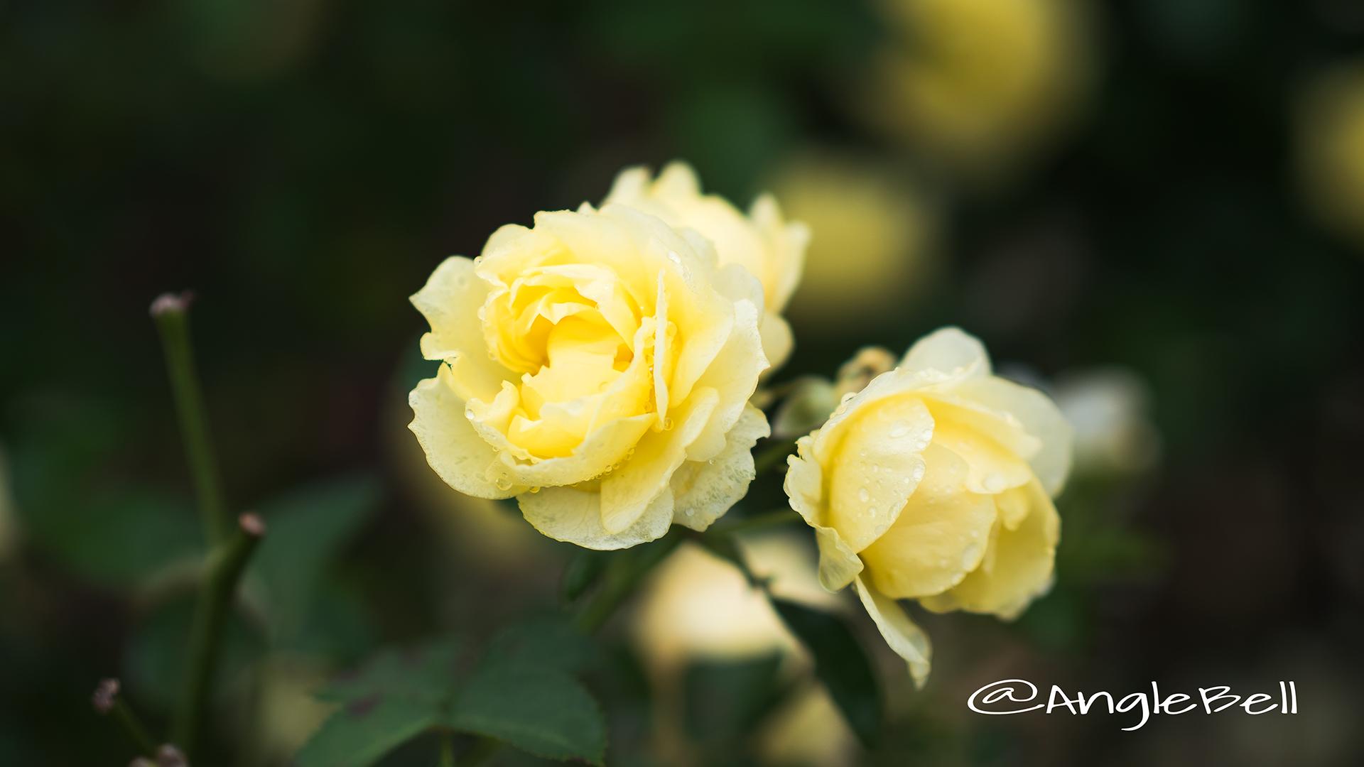 ゴールデン ボーダー (バラ) Flower Photo4