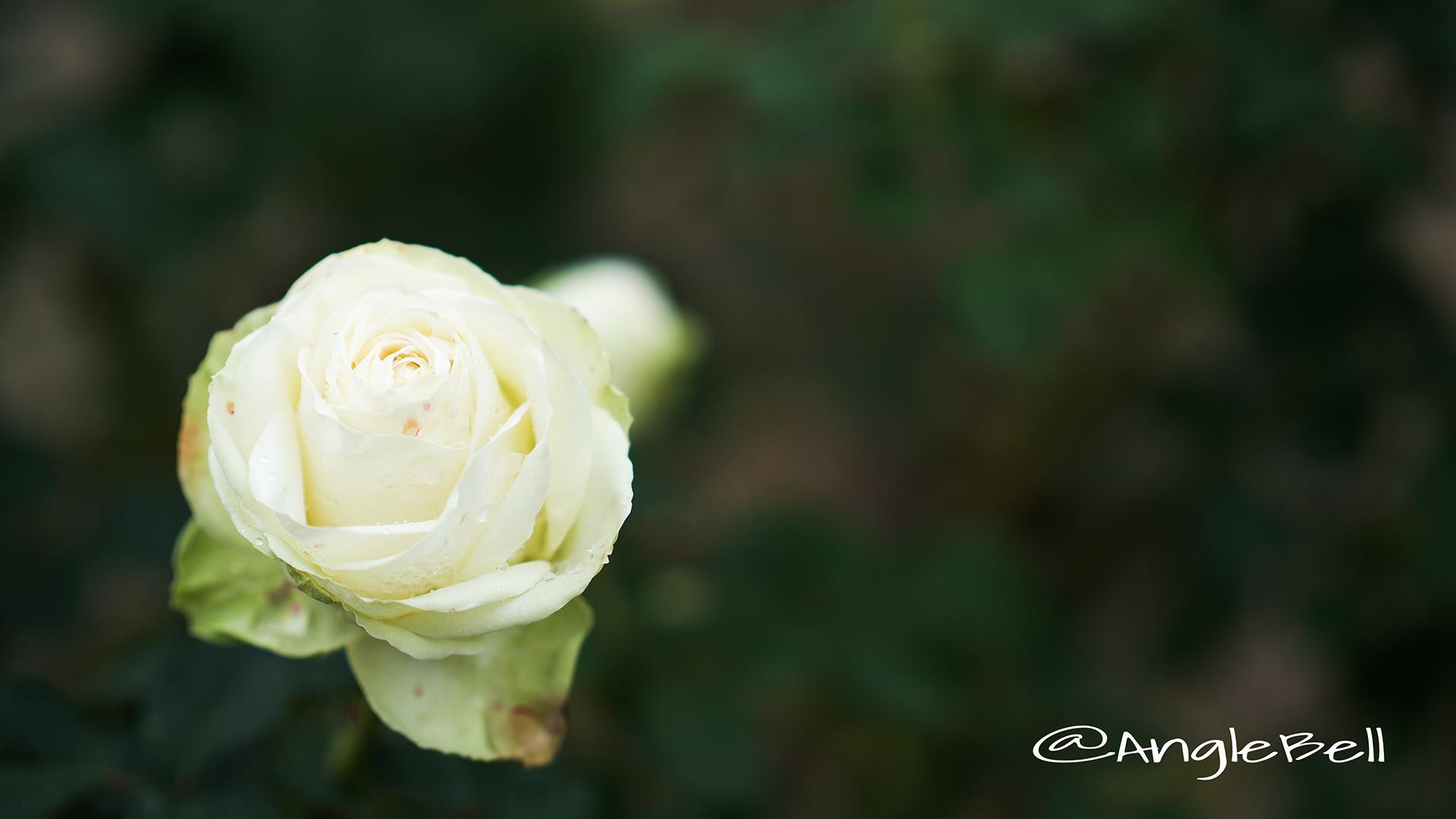 わかな (バラ) Flower Photo3