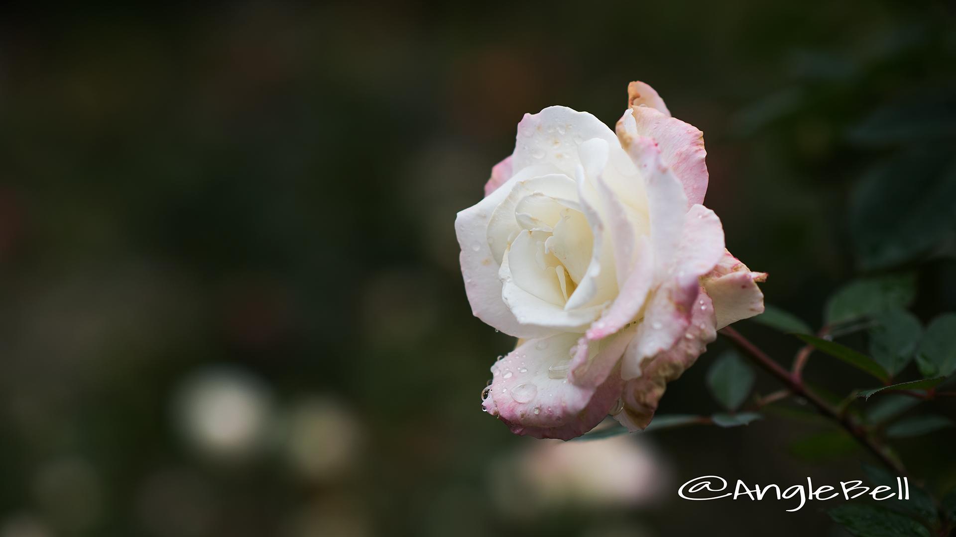 夕霧 (バラ) Flower Photo3