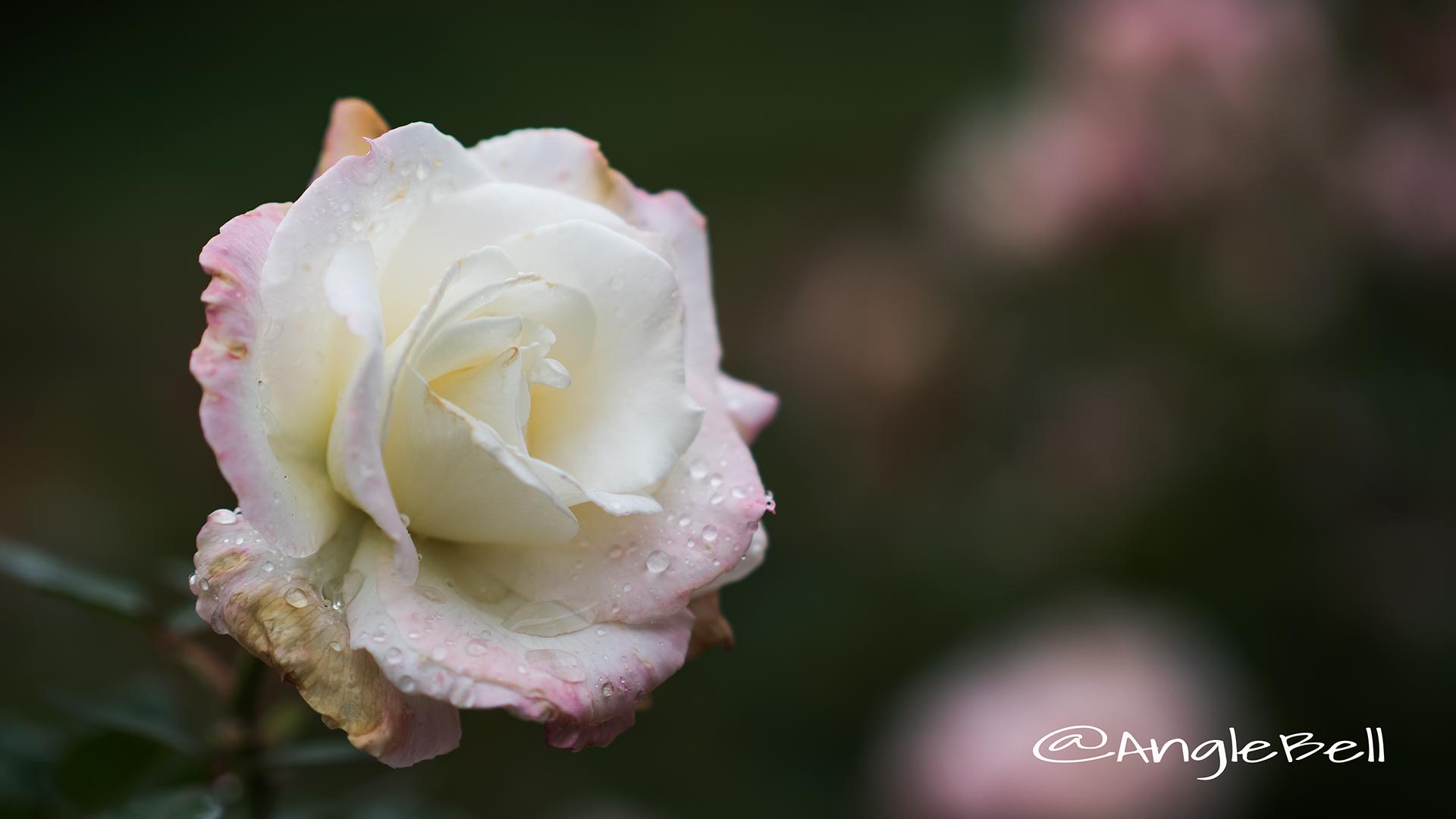 夕霧 (バラ) Flower Photo2