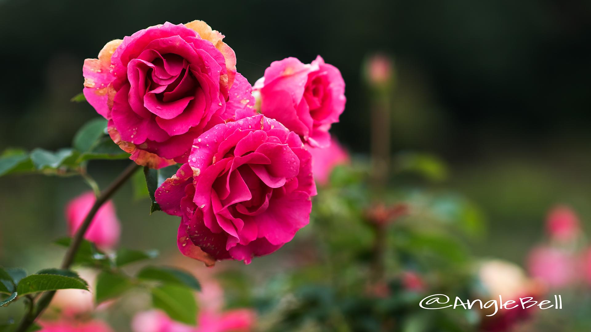 うらら (バラ) Flower Photo2