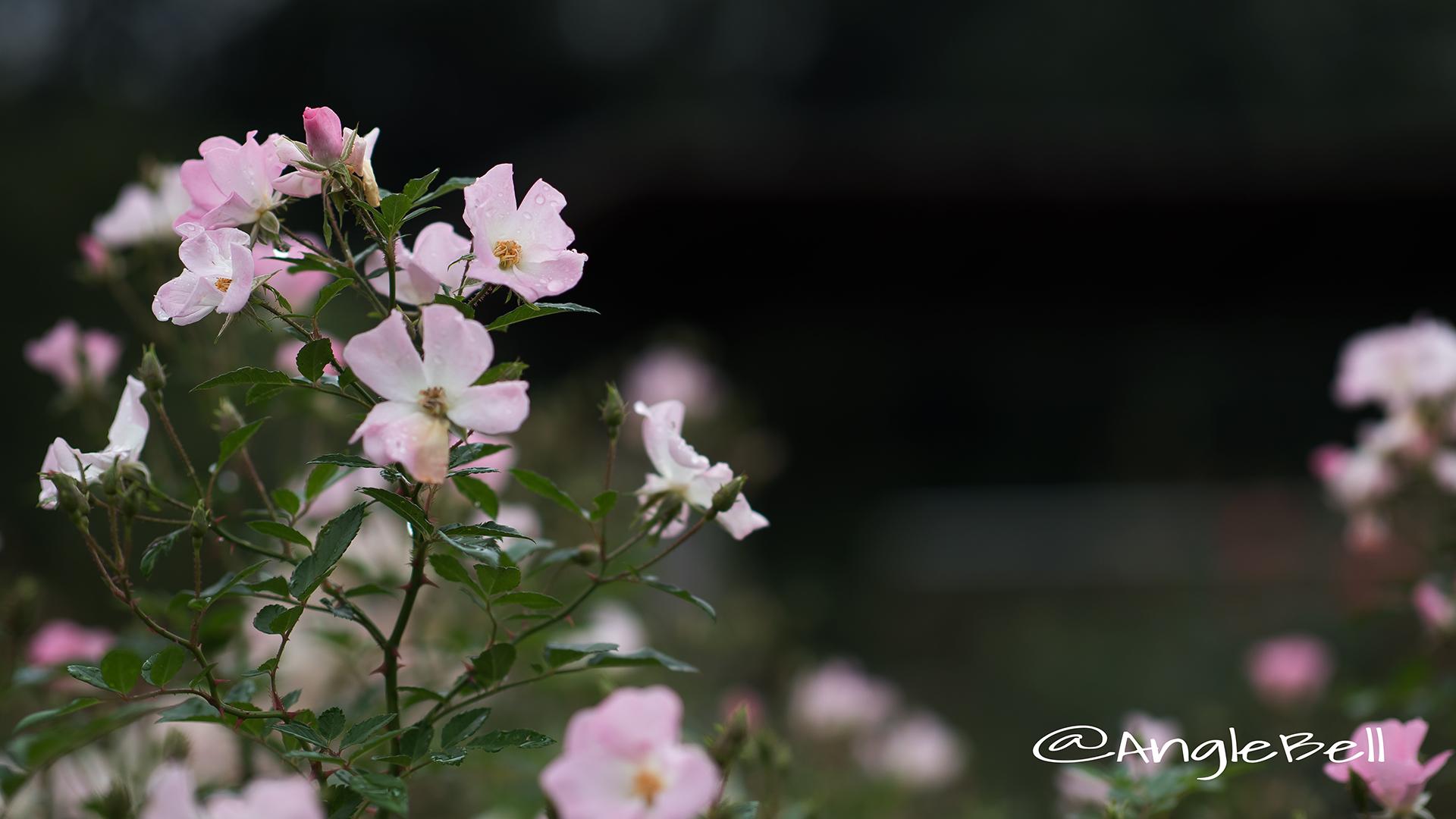 春の海 Flower Photo3