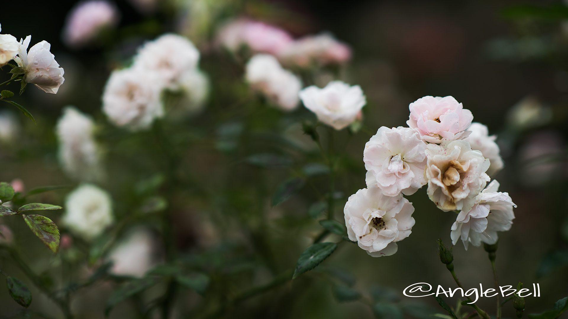 春の雪 (バラ)