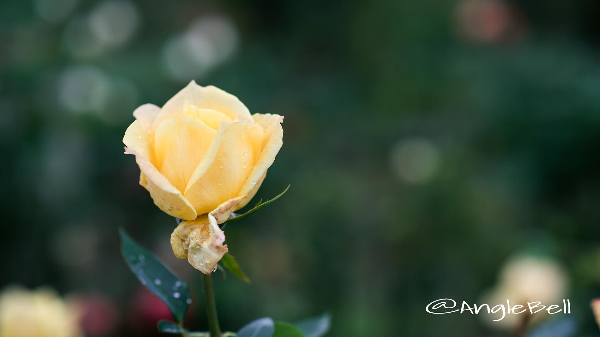 プリンセス フクヤマ (バラ) Flower Photo2