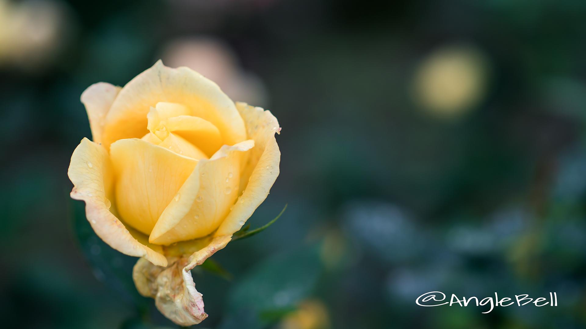 プリンセス フクヤマ (バラ) Flower Photo3