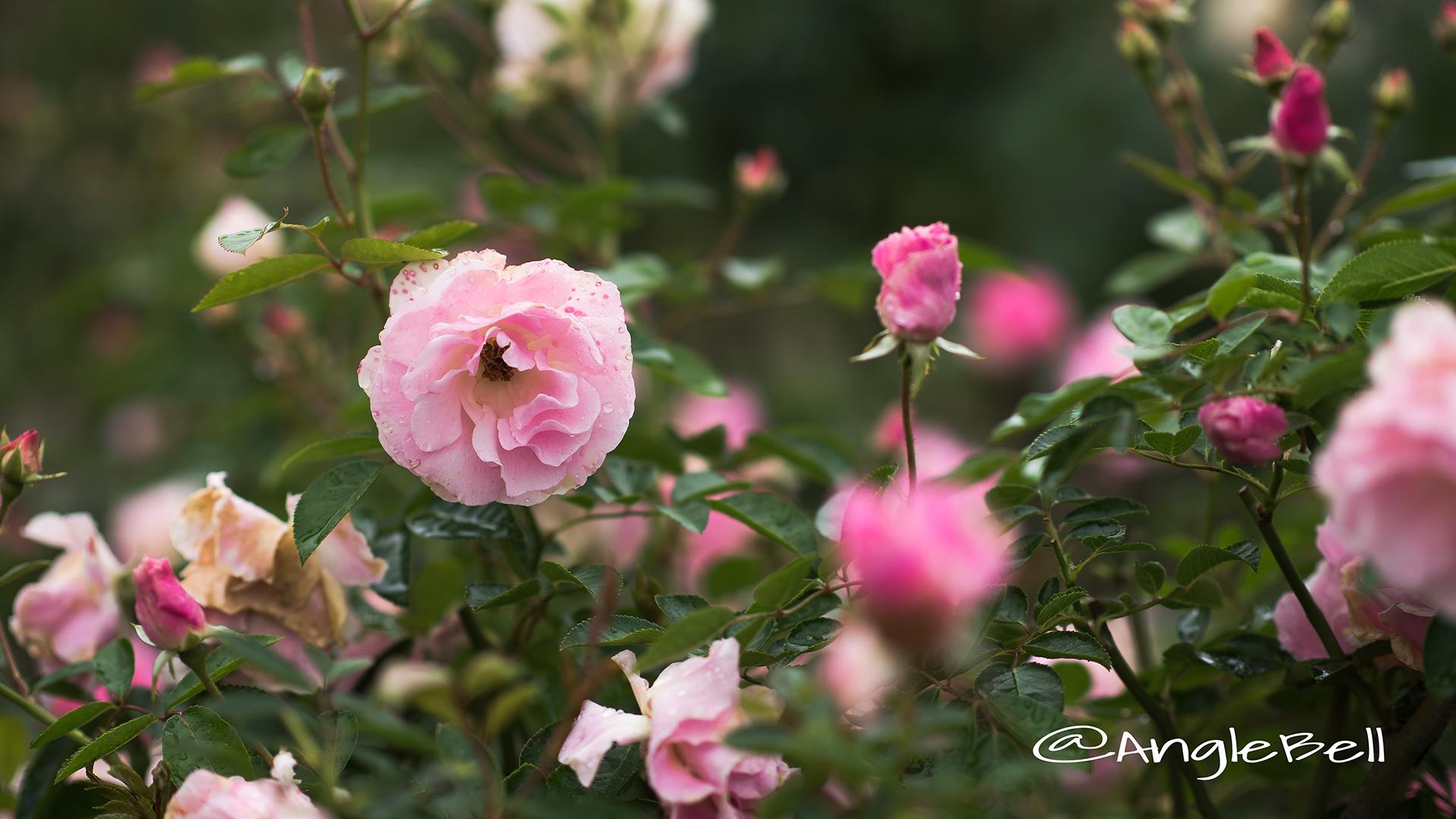 スプリング パル (バラ) Flower Photo2
