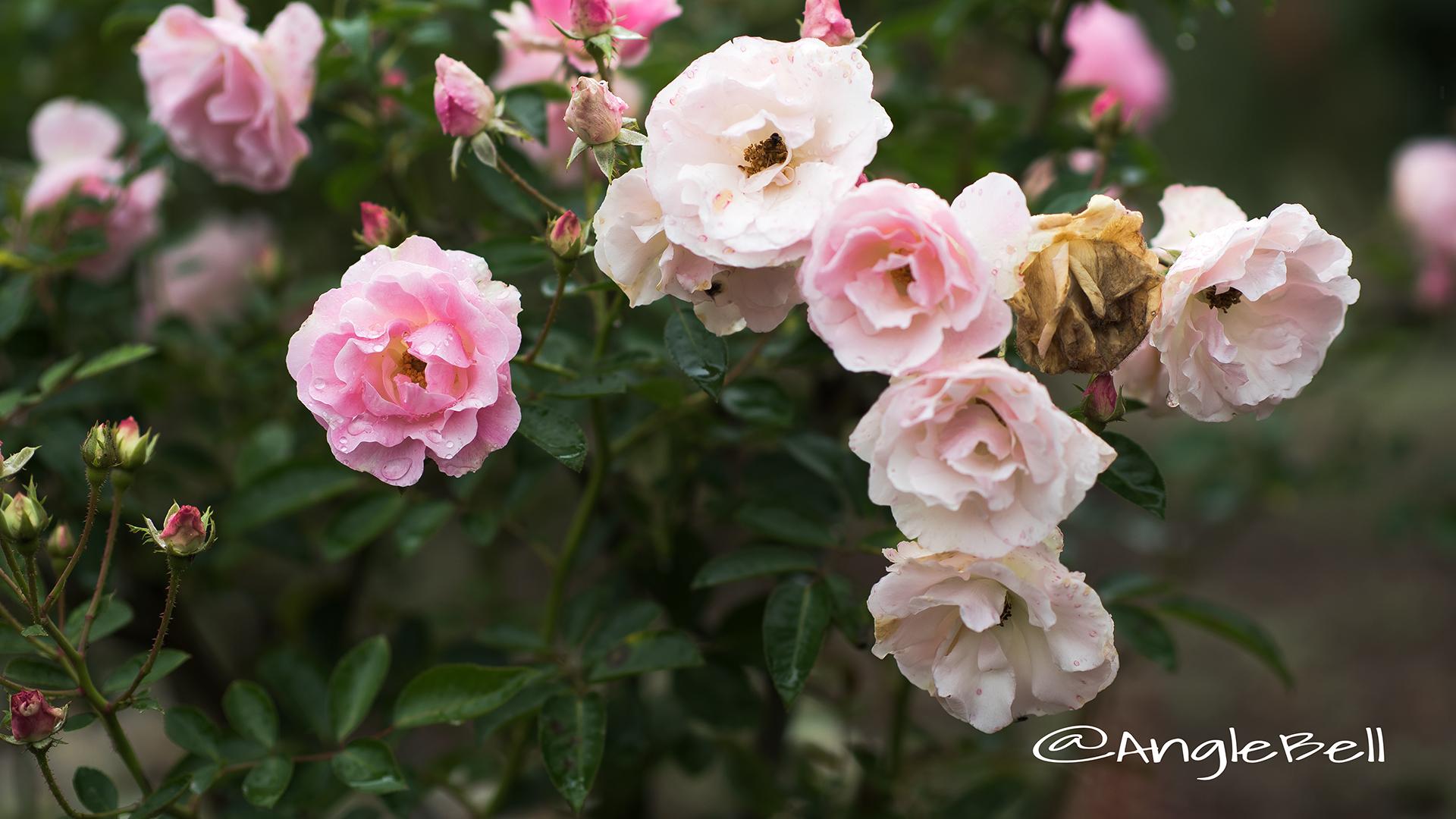 スプリング パル (バラ) Flower Photo3