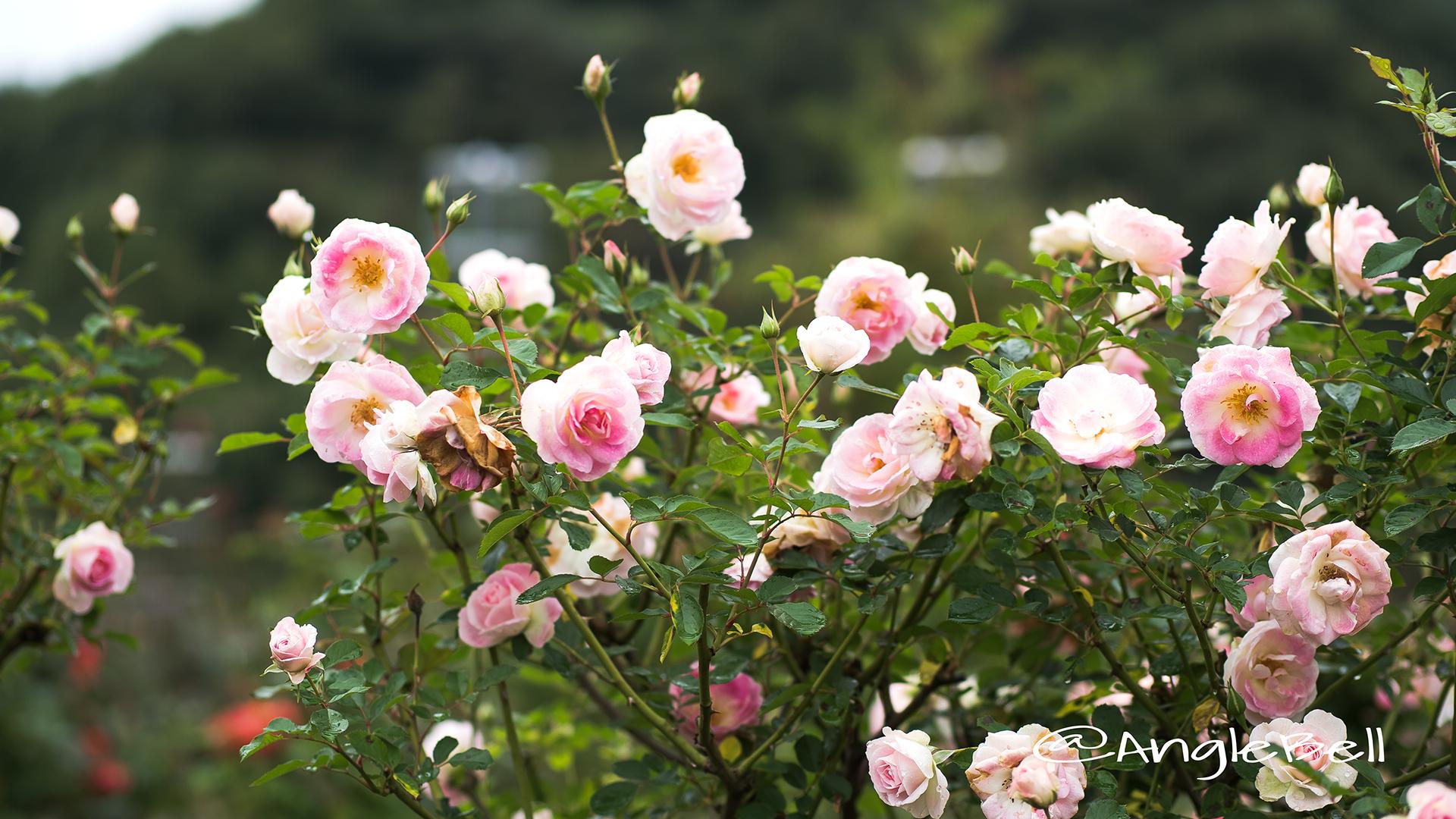 春の舞 (バラ) Flower Photo3