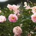 春の舞 (バラ) Flower Photo1